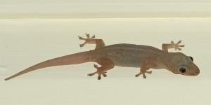 Gecko en Australia