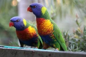 Pájaros de Australia (rainbow lorikeets)